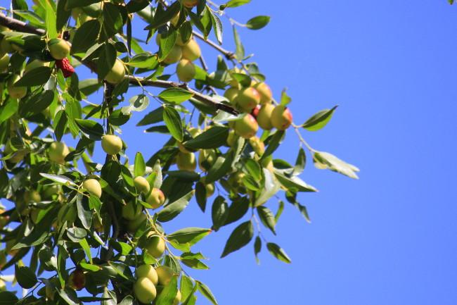 枣树春天的图片大全