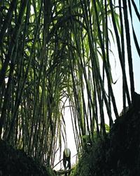 【看点】废墟上的甘蔗林(小说)