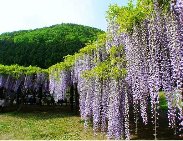 四月的春天充满了樱花的味道,一边盛开一边飘落,一边回忆
