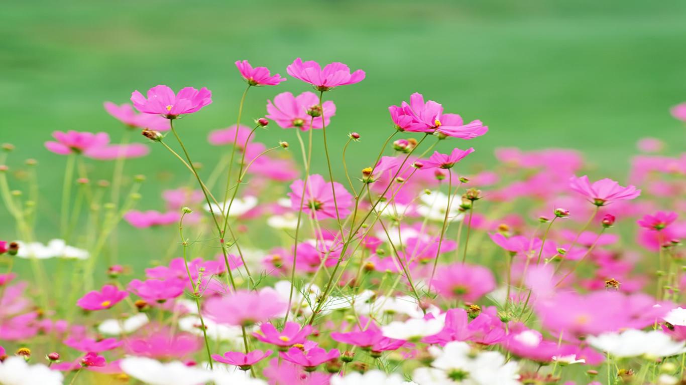 那片笑声让我想起我的那些花儿,在我生命每个角落静静为我开着每当这首朴树的歌忧伤而深情的响起,我脑海里总会出现那些美丽的,可爱的,灿烂的,陪着我成长的故乡的朴实的花儿。    王维有诗云:君自故乡来,应知故乡事。来日倚窗前,寒梅著花未?诗人借询问故园的梅花是否盛开,抒发自己念乡之情深。我爱故乡的花儿,亦如深爱我的故乡。    随着岁月的脚步,为了求学,为了生活,我们离开故乡。这半生到过很多城市,很多地方,见过许多奇花异草。栀子花的清丽可爱,荷花的高洁典雅,梅花的傲雪凌霜,桂花的暗香浮动,这些婀娜多姿