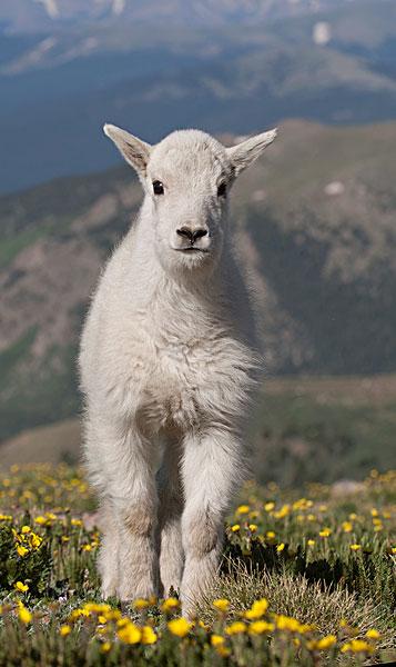 【看点】走进西部为民族文化担心的羊(赏析)