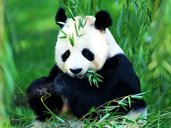 大熊猫(写话)