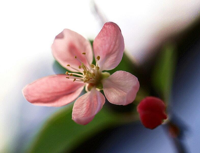 桃花树简单铅笔画