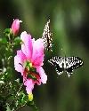 二十七只蝴蝶