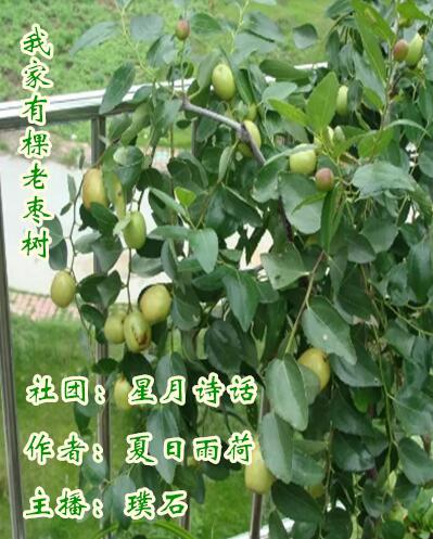 我家有棵老枣树
