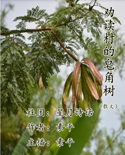 劝读村的皂角树(散文)